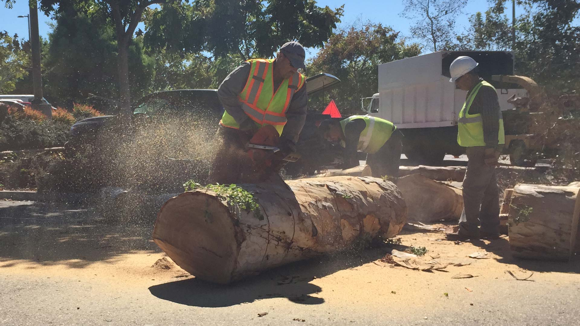 Large tree cut down and being cut into smaller more manageable pieces at  property in Rancho Santa Fe.