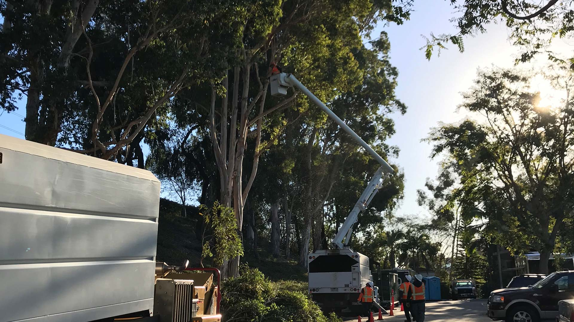 Trimming a large tree in Encinitas, CA.