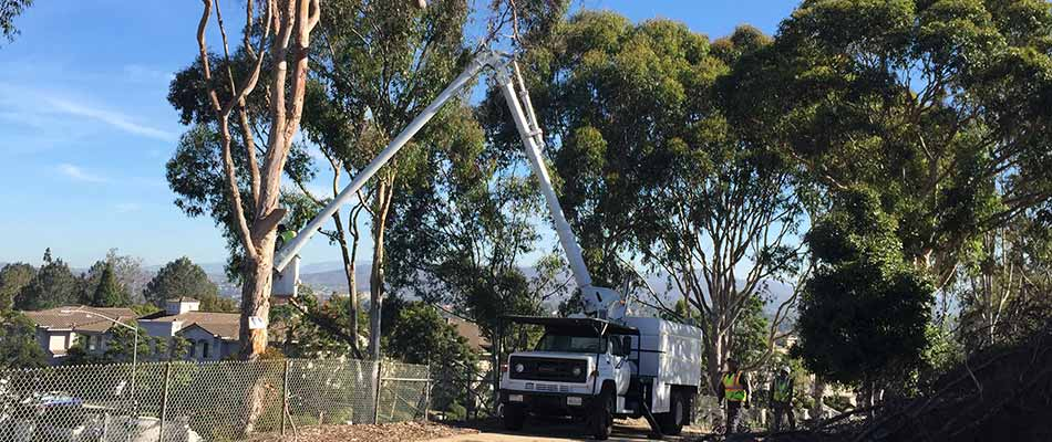 A certified arborist working on trees in Encinitas, CA.