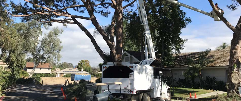 Our certified arborists performing routine tree trimming and pruning in Rancho Santa Fe, CA.