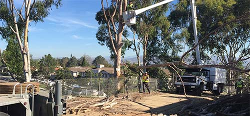Tree services crew trimming trees in Encinitas, CA.